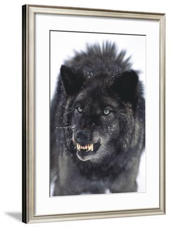 Gray Wolf Baring its Fangs-DLILLC-Framed Photographic Print