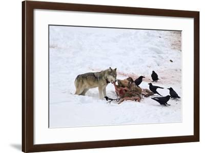 Gray Wolf (Canis Lupus) 870F of the Junction Butte Pack at an Elk Carcass in the Winter-James Hager-Framed Photographic Print