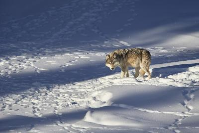 Gray Wolf (Canis Lupus) 870F of the Junction Butte Pack in the Winter-James Hager-Photographic Print