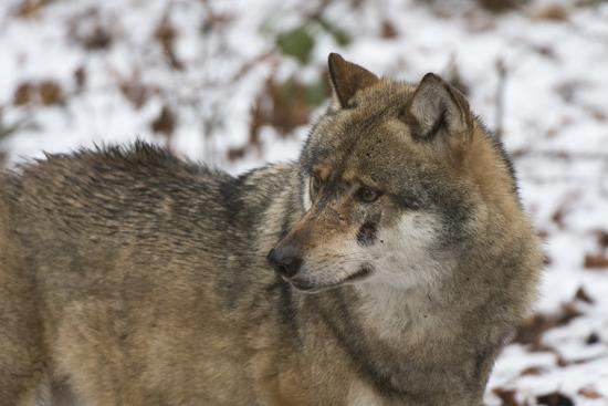 Gray Wolf (Canis Lupus), Bavarian Forest National Park, Bavaria, Germany, Europe-Sergio Pitamitz-Photographic Print