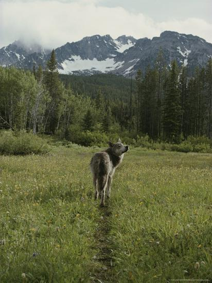 Gray Wolf, Canis Lupus, Crosses a Mountain Meadow on a Worn Path-Jim And Jamie Dutcher-Photographic Print