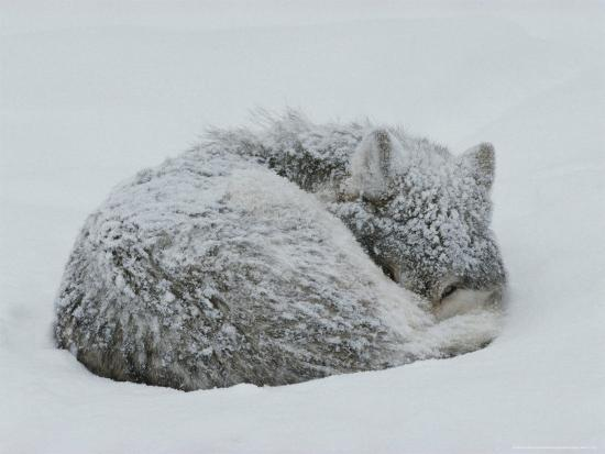 Gray Wolf, Canis Lupus, Curls Up in the Snow to Sleep-Jim And Jamie Dutcher-Photographic Print