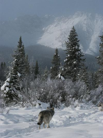 Gray Wolf, Canis Lupus, Passes Through a Snowy Mountain Landscape-Jim And Jamie Dutcher-Photographic Print