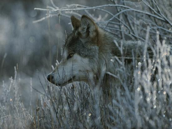 Gray Wolf, Canis Lupus, Peeks Out of a Weed Thicket-Jim And Jamie Dutcher-Photographic Print