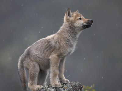 Gray Wolf (Canis Lupus) Pup in Light Snowfall, North America-Tim Fitzharris/Minden Pictures-Photographic Print