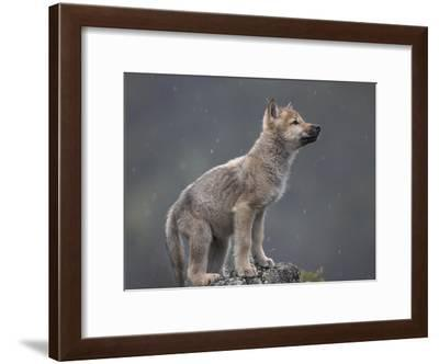 Gray Wolf (Canis Lupus) Pup in Light Snowfall, North America-Tim Fitzharris/Minden Pictures-Framed Photographic Print