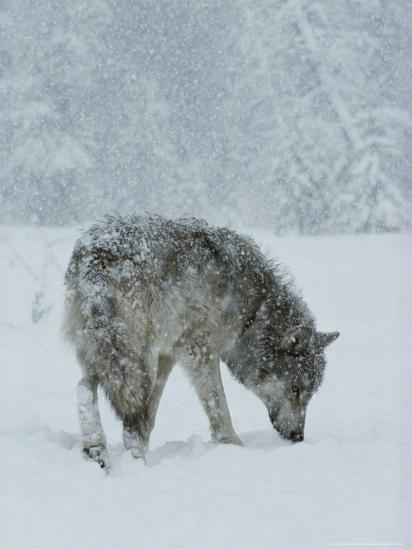 Gray Wolf, Canis Lupus, Sniffs at the Ground During a Snowstorm-Jim And Jamie Dutcher-Photographic Print