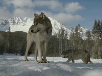 Gray Wolf, Canis Lupus, Stands in Snow as Another Circles Nearby-Jim And Jamie Dutcher-Photographic Print