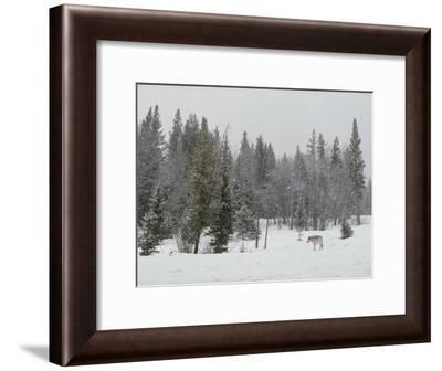 Gray Wolf, Canis Lupus, Stands Near Forest's Edge in a Snow Storm-Jim And Jamie Dutcher-Framed Photographic Print