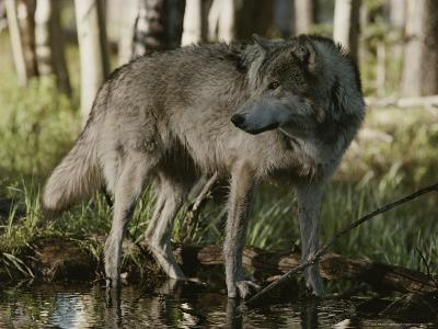 Gray Wolf, Canis Lupus, Stops at a Woodland Stream-Jim And Jamie Dutcher-Photographic Print