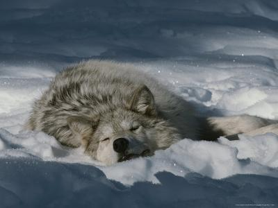 Gray Wolf, Canis Lupus, Takes a Nap in a Snowy Bed-Jim And Jamie Dutcher-Photographic Print