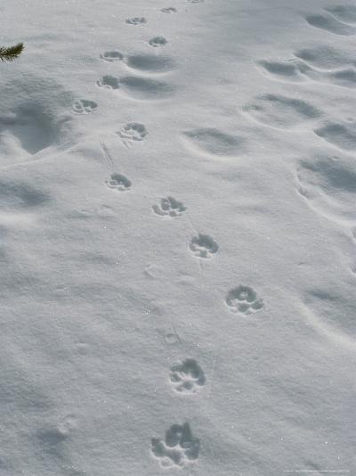 Gray Wolf, Canis Lupus, Tracks Head Across a Snowy Field-Jim And Jamie Dutcher-Photographic Print