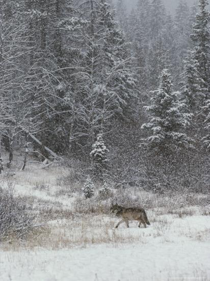 Gray Wolf, Canis Lupus, Walks in a Wintry Snow-Filled Landscape-Jim And Jamie Dutcher-Photographic Print