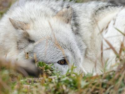 Gray Wolf, Canis Lupus, West Yellowstone, Montana-Maresa Pryor-Photographic Print