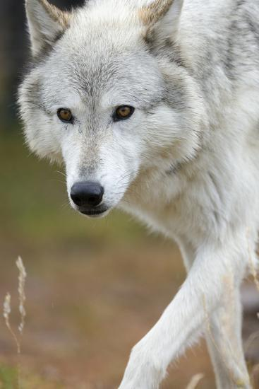 Gray Wolf, Canis Lupus, West Yellowstone, Montana-Maresa Pryor-Photographic Print