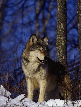 https://imgc.artprintimages.com/img/print/gray-wolf-canis-lupus_u-l-p3ewfb0.jpg?p=0