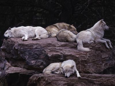 Gray Wolf, Canis Lupus-D^ Robert Franz-Photographic Print