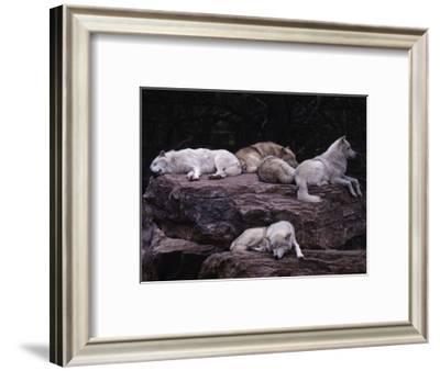 Gray Wolf, Canis Lupus-D. Robert Franz-Framed Photographic Print