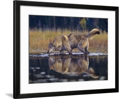 Gray Wolf Drinking from a Lake, Montana-Tim Fitzharris-Framed Photographic Print