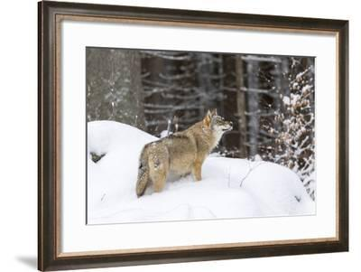 Gray Wolf During Winter in National Park Bavarian Forest. Bavaria, Germany-Martin Zwick-Framed Photographic Print