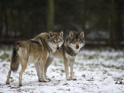 Gray Wolf (Grey Wolf), Canis Lupus, Wildlife Preserve, Rheinhardswald, Germany, Europe-Thorsten Milse-Photographic Print