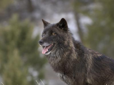 Gray Wolf Head, Dark Color Phase (Canis Lupus)-Dave Watts-Photographic Print