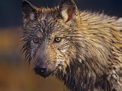 Gray Wolf Headshot, Montana-Tim Fitzharris-Photographic Print