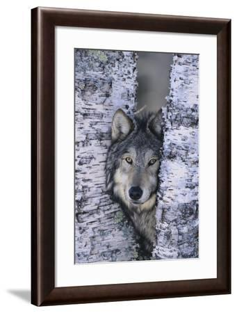 Gray Wolf Hiding in Trees-DLILLC-Framed Photographic Print