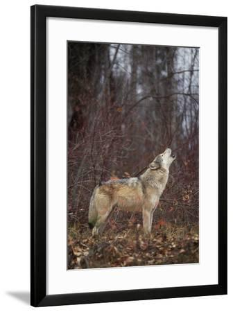 Gray Wolf Howling-DLILLC-Framed Photographic Print