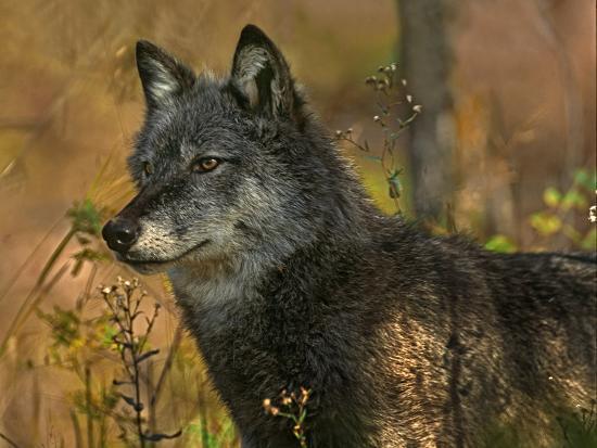 Gray Wolf in Autumn, Montana-Tim Fitzharris-Photographic Print