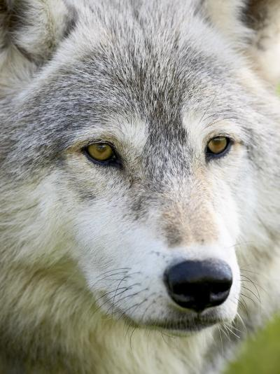 Gray Wolf in Captivity, Sandstone, Minnesota, United States of America, North America-James Hager-Photographic Print