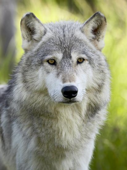 Gray Wolf, in Captivity, Sandstone, Minnesota, USA-James Hager-Photographic Print