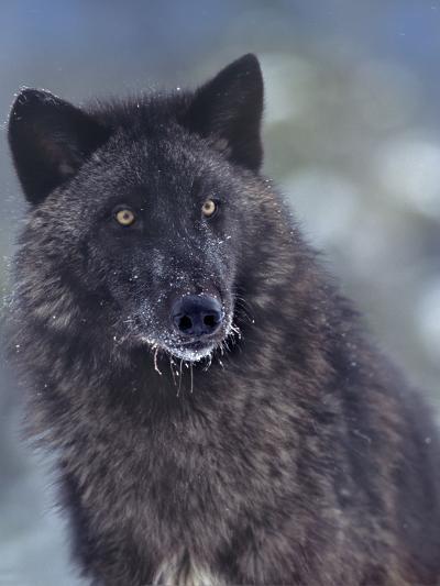 Gray Wolf in Snow, Montana-Tim Fitzharris-Photographic Print