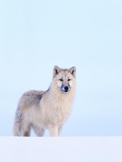 Gray Wolf in Snow-Jeff Vanuga-Photographic Print