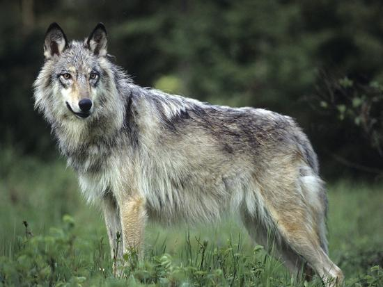 Gray Wolf in Spring, Montana-Tim Fitzharris-Photographic Print
