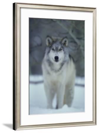 Gray Wolf in Winter-DLILLC-Framed Photographic Print