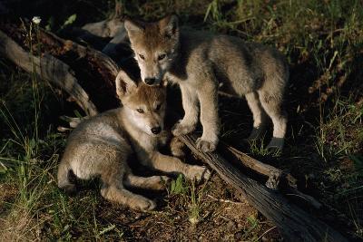 Gray Wolf Litter Mates-Jim And Jamie Dutcher-Photographic Print