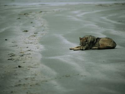 Gray Wolf on Beach-Joel Sartore-Photographic Print