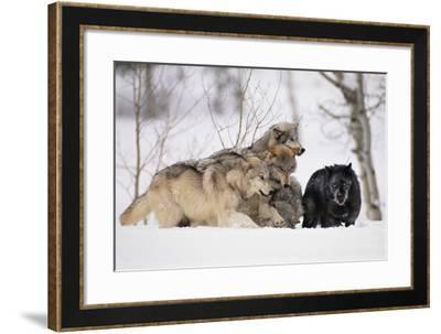 Gray Wolf Pack Digging in Snow-DLILLC-Framed Photographic Print