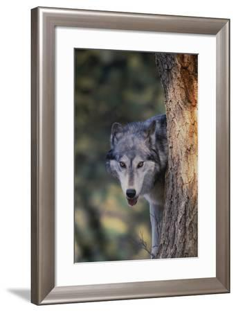 Gray Wolf Peering from behind Tree Trunk-DLILLC-Framed Photographic Print