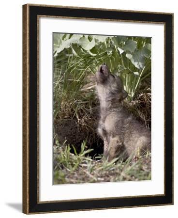 Gray Wolf Pup Howling, in Captivity, Animals of Montana, Bozeman, Montana, USA-James Hager-Framed Photographic Print