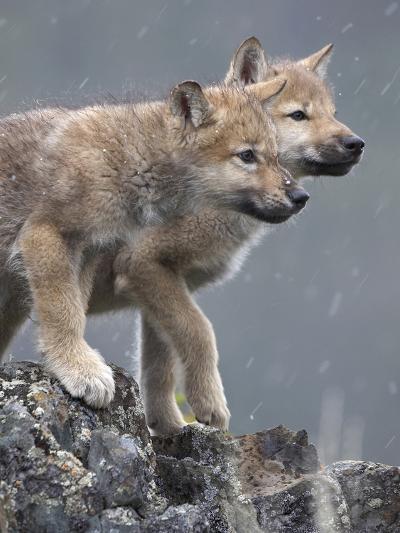 Gray Wolf Pups in Snow, Montana-Tim Fitzharris-Photographic Print