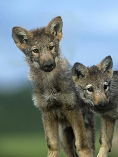 Gray Wolf Pups Look Curiously Around, Montana-Tim Fitzharris-Photographic Print