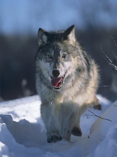 Gray Wolf Running Along a Trail in Snow, Montana-Tim Fitzharris-Photographic Print