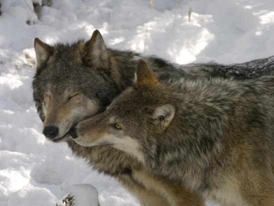 Gray Wolf, Two Captive Adults Kissing, Montana, USA-Daniel J. Cox-Photographic Print
