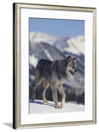 Gray Wolf Walking in Snow-DLILLC-Framed Photographic Print