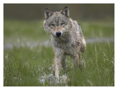 https://imgc.artprintimages.com/img/print/gray-wolf-walking-through-water-north-america_u-l-f7if1b0.jpg?p=0