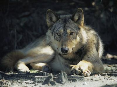 Gray Wolf-Joel Sartore-Photographic Print