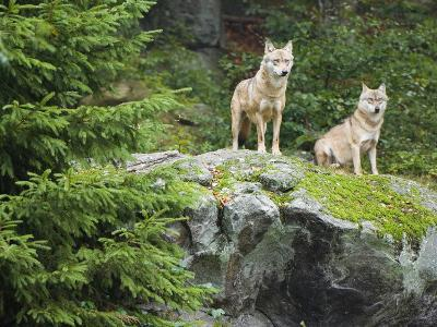 Gray Wolves (Canis Lupus), Bavarian Forest National Park, Germany, Europe-Fritz Polking-Photographic Print