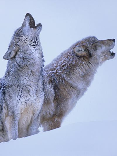 Gray Wolves Howling in Snow, Montana-Tim Fitzharris-Photographic Print
